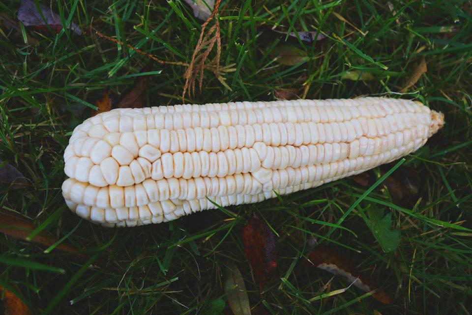 Absolutny rarytas dla Wietnamczyków mieszkających w Polsce – kukurydza woskowa (zwana chińską). Jest bardziej słodka, ale najważniejsze, że smakuje Wietnamem.